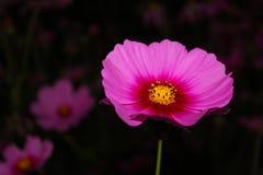 Flor do cosmos Fotografia de Stock