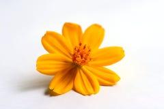Flor do cosmos Imagens de Stock