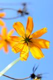 Flor do cosmos Foto de Stock