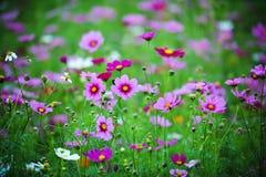 Flor do cosmos Imagens de Stock Royalty Free