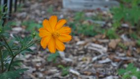 Flor do cosmos vídeos de arquivo