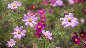 Flor do cosmos Foto de Stock Royalty Free