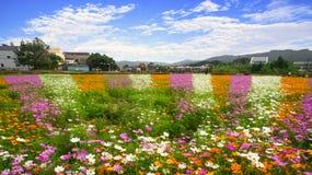 Flor do cosmos Imagem de Stock
