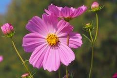Flor do cosmos com fundo branco fotos de stock royalty free