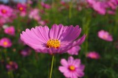Flor do cosmos com fundo branco fotografia de stock royalty free