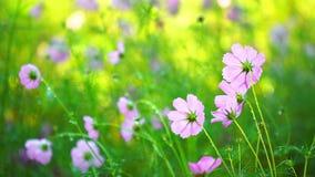 Flor do cosmos com gota da água vídeos de arquivo