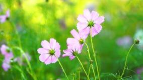 Flor do cosmos com gota da água video estoque