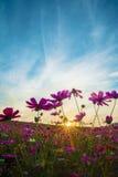 Flor do cosmos com por do sol Imagens de Stock Royalty Free