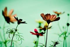 Flor do cosmos do vintage foto de stock