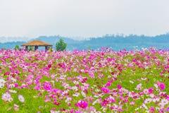Flor do cosmos em seoul, Coreia fotografia de stock