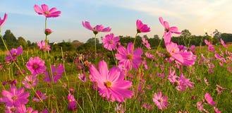 Flor do cosmos Cosmos do enxofre imagem de stock royalty free