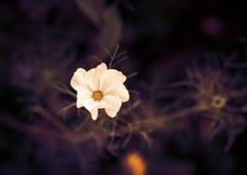 Flor do cosmos Imagem tonificada Fotografia de Stock