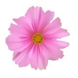 Flor do cosmos isolada no fundo branco Imagens de Stock