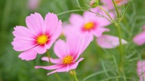 Flor do cosmos na terra do jardim com balanço pelo vento vídeos de arquivo