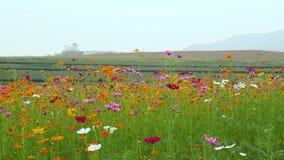 Flor do cosmos no campo filme