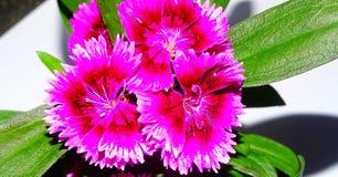 Flor do cravo-da-índia Fotos de Stock