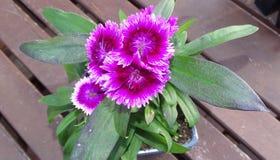 Flor do cravo-da-índia com folhas verdes Fotos de Stock Royalty Free