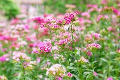 Flor do cravo-da-índia no jardim Fotos de Stock Royalty Free