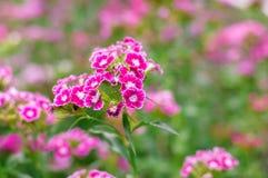 Flor do cravo-da-índia no jardim Fotografia de Stock Royalty Free