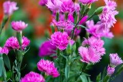 Flor do cravo-da-índia no parque de Suan Luang Rama IX, Tailândia fotos de stock