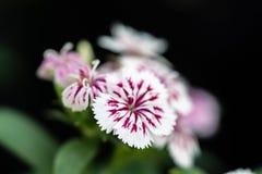 Flor do cravo-da-índia no parque de Suan Luang Rama IX, Tailândia imagens de stock royalty free
