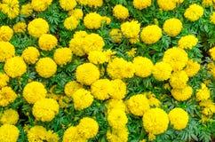 Flor do cravo-de-defunto imagem de stock