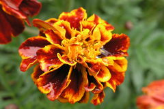 Flor do cravo-de-defunto após a chuva Imagens de Stock