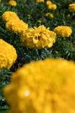 Flor do cravo-de-defunto com fundo agradável do jardim imagens de stock