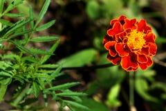 Flor do cravo-de-defunto com fundo verde das folhas do borrão fotos de stock
