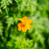 Flor do cravo-de-defunto nas folhas verdes Foto de Stock