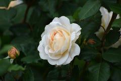 A flor do creme aumentou no jardim do verão Inglês Rose Crocus R Foto de Stock Royalty Free