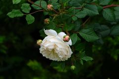 A flor do creme aumentou no jardim do verão Inglês Rose Crocus R Fotografia de Stock Royalty Free