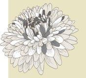 Flor do crisântemo Imagens de Stock Royalty Free