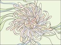 Flor do crisântemo Imagens de Stock