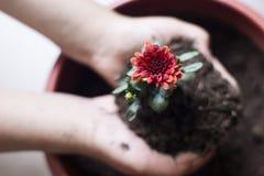 Flor do crisântemo Fotos de Stock