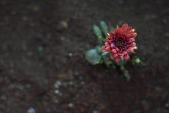 Flor do crisântemo Fotos de Stock Royalty Free