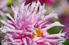 Flor do crisântemo cor-de-rosa Fotografia de Stock Royalty Free