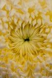 Flor do crisântemo do pom de Pom Foto de Stock