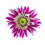 Flor do crisântemo isolada no branco Foto de Stock Royalty Free