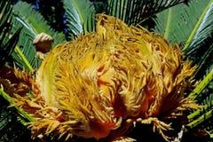 Flor do Cycad foto de stock royalty free