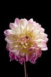 Flor do dahila de Waterlily Foto de Stock Royalty Free