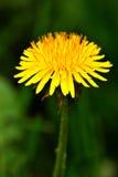 Flor do dente-de-leão Fotos de Stock Royalty Free