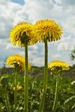 Flor do dente-de-leão. Imagem de Stock Royalty Free