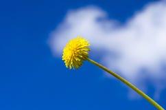 Flor do dente-de-leão imagens de stock