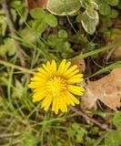 Flor do dente-de-leão Fotografia de Stock