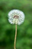 Flor do dente-de-leão imagem de stock royalty free