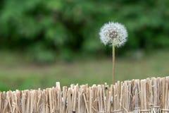 Flor do dente-de-leão imagem de stock