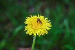 A flor do dente-de-leão fotos de stock