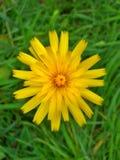 Flor 2 do dente-de-leão Imagens de Stock Royalty Free
