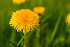 flor do dente-de-leão contra a grama verde Imagem de Stock